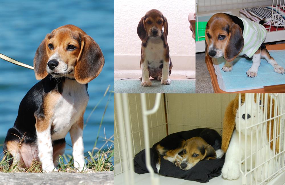 「犬の一日」の看板犬・ビーグルのマルコ